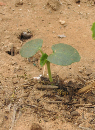 Roque Okra Plant