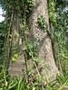 96.11.16竹崎鄉光華村茄苳風景區內的茄苳老樹DSCN3209