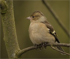 Female Chaffinch (Charles Connor) Tags: chaffinch femalechaffinch tinybirds gardenbirds birds birdphotography uknature naturephotography wildlife wildlifephotography canon100400lens canon7dmk11