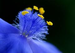 Tradescantia sp. (nobuflickr) Tags: flower japan kyoto tradescantia thekyotobotanicalgarden nature excapturemacro explorewinnersoftheworld awesomeblossoms vosplusbellesphotos