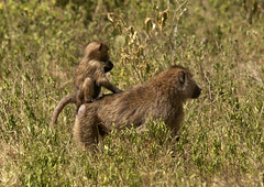 Baboon mother and kid - Kenya (Eric Lafforgue) Tags: africa animal monkey kenya culture tribal tribes afrika baboon tradition tribe ethnic 1022 tribo afrique ethnology tribu eastafrica babouin qunia lafforgue ethnie  qunia    kea    a