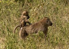 Baboon mother and kid - Kenya (Eric Lafforgue) Tags: africa animal monkey kenya culture tribal tribes afrika baboon tradition tribe ethnic 1022 tribo afrique ethnology tribu eastafrica babouin qunia lafforgue ethnie  qunia    kea    a