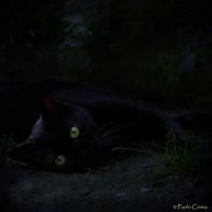 PICCOLA PANTERA... (Paolo Cirmia) Tags: black texture cat eyes squares occhi panther gatto nero pantera nerina