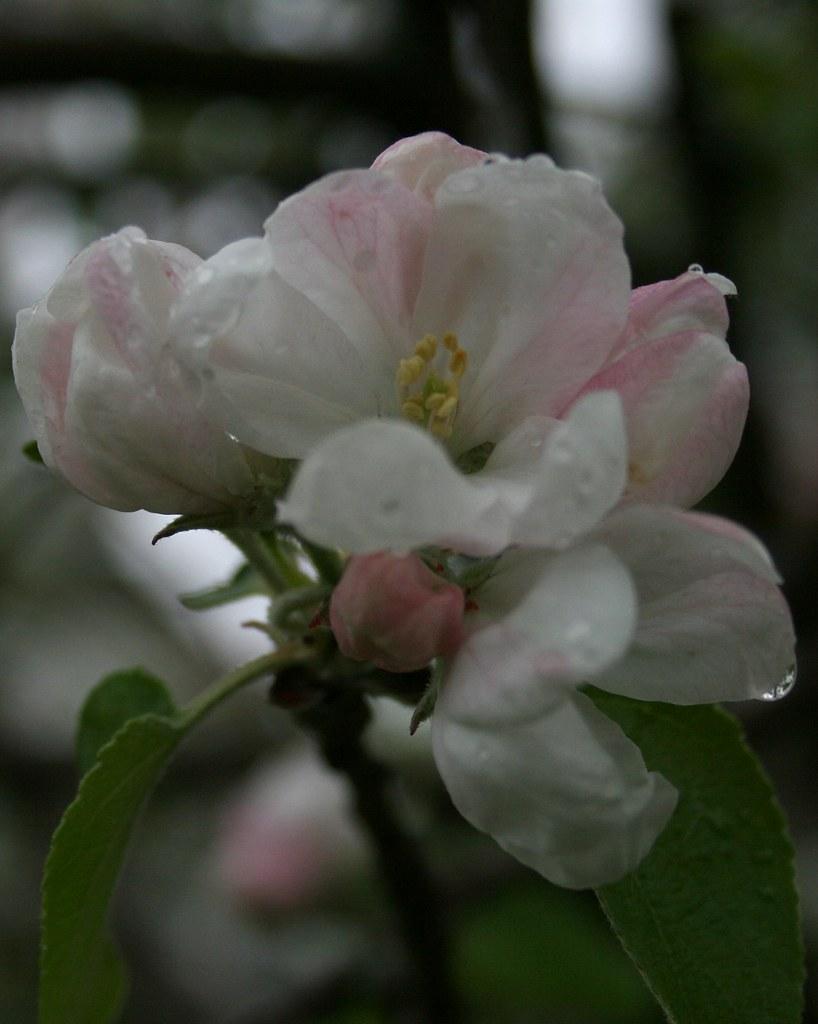 blossomed cortland