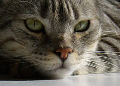 Ciccia (Topyti) Tags: cats cat gatti ciccia cc200 cc100 bestofcats