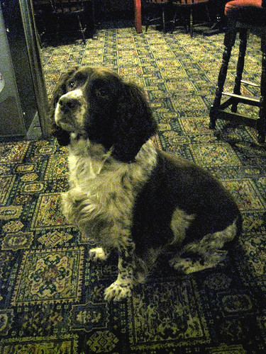 Chelsea is a Spaniel