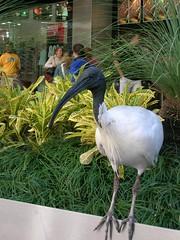 Street walking necrophagous (Bichillo Raro) Tags: bird mall australia brisbane queen carroero