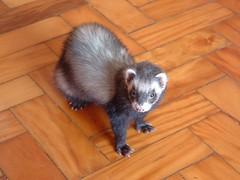 momento pensativo (o que os olhos vem) Tags: ferrets preta