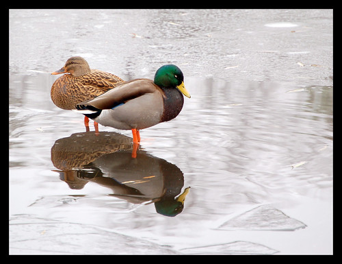 Lame ducks frozen in water