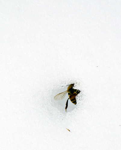 Dead Bee in the Middle of the Snow
