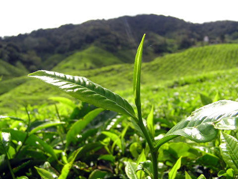 Cameron Highlands - Tea