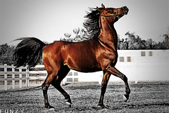 Kuwait Arabian Horse (Fawaz Al Nashmi) Tags: horse pet art animal animals photo arab kuwait arabian stallion fawaz   blueribbonwinner funzy    35faves    impressedbeauty fiveflickrfavs betterthangood alnashmi funzyclick