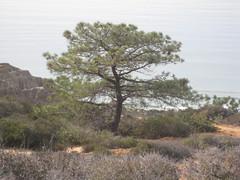 Christmas 2007-San Fran, LA, SD 225 (trishy00) Tags: park state pines torrey