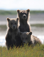 Katmai Brown Bears (gladner (100,000 views? Thanks!)) Tags: nature alaska free national nationalparks breathtaking ih grizzlybears naturesfinest katmai specanimal mywinners abigfave goldmedalwinner platinumphoto anawesomeshot impressedbeauty flickrdiamond megashot brillianteyejewel coolestphotographers betterthangood theperfectphotographer goldstaraward platinumsuperstar gr8contestwinner photocontesttnc10