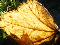 Colour. (stormlover2007) Tags: sunlight macro nature grass garden leaf shadows veins soe blueribbonwinner digitalcameraclub brillianteyejewel betterthangood