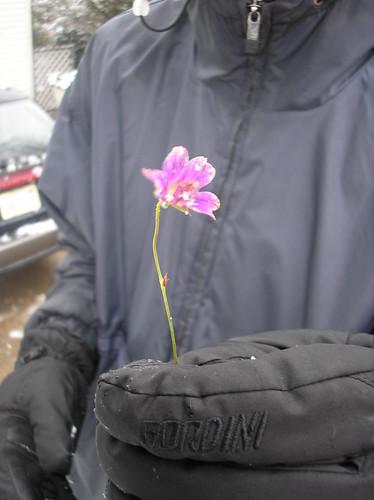 winter flower found in the snow