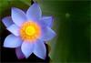 Blue Lotus Flower - IMGP3373 Blue Lotus Flower