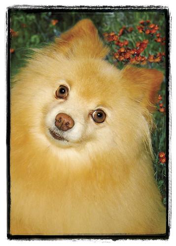 "Pomeranian  ""Art"""