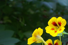 krassitausta - nasturtium (vaula) Tags: flowers plants plant flower green colors yellow catchycolors garden bokeh background cc creativecommons nasturtium kasvi krassi puutarha kukka vihre keltainen tausta nasturtia