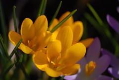 080103 006 (juergen.mangelsdorf) Tags: flower blumen krokus frhling