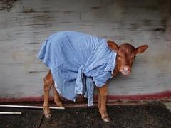 Katie Sue (rlbarn) Tags: ranch cattle cows farm calf calves watusi ankole