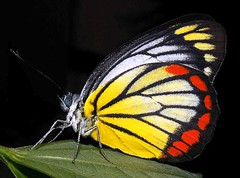 Java butterfly (Mangiwau) Tags: red color colour macro yellow butterfly insect indonesia java insects creepy lepidoptera breathtaking insectes kuning merah reddish warna yellowish insecta naturesfinest serangga tangerang crawlies banten platinumphoto aplusphoto wowiekazowie diamondclassphotographer flickrdiamond buzznbugz
