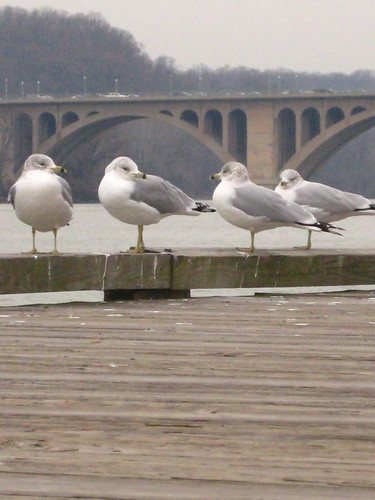 Seagulls and Key Bridge 2