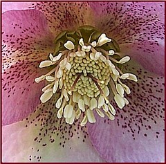 Lenten Rose (StrengthFromAbove!) Tags: flowers flower nature rose closeup photography amazing photos awesome master picnik musictomyeyes lenten astonishing flowerscloseup naturesfinest flowerpictures flowerphotography flowerotica flowerlovers beautyofnature masterphotos flowerthemesanythinggoes diamondheart fabulousflowers magicofaworldinmacro awesomeflowers macromix flowerandfoliagedetail goldenglobe1awards astonishingflowers forestwander ilovemypics photoswelove thepoweroftheflower exquisiteflowers mimamorflowers macromarvles defendersnaturemacroandcloseup flickerfullcolor flowersinmocromode