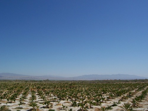 Baby palms at a palm plantation near Indio, California