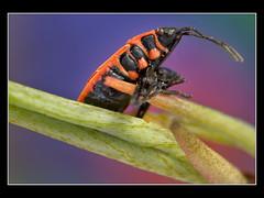 Firebug (Pyrrhocoris apterus, Feuerwanze)