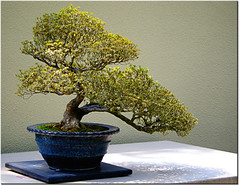 Bonsai 121 (Poe ) Tags: thankyou bonsai pacificnorthwest washingtonstate weyerhaeuser youaregreat pacificrimbonsaicollection theunforgettablepictures