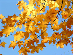 Golden (parallax_photo) Tags: new blue autumn england sky orange plant color tree fall nature leaves yellow photography gold photo leaf massachusetts foliage parallax folliage autmun paralax parallaxphoto