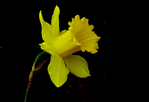 Yellow Flower with Black background by DIKESH comYellow Flowers Black Background