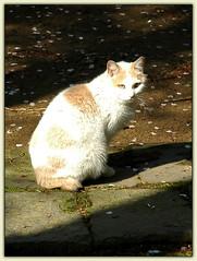 Chat bobtail japonais