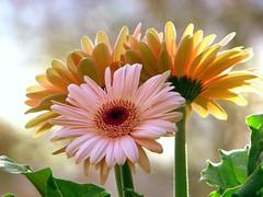 Have a nice weekend..I'll be away (Nancy Rose) Tags: pink flowers light closeup daisies natural peach center gerbera daisy backlit windowsill themoulinrouge naturesfinest golddragon mywinners goldstaraward