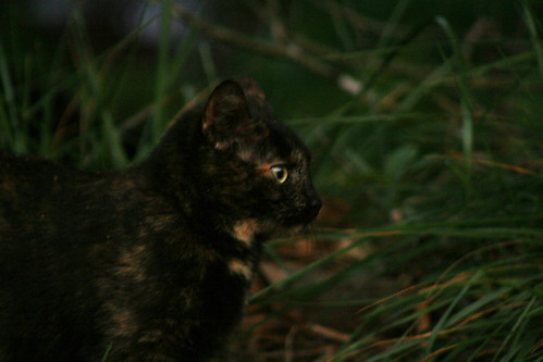 Hathor the Tortise Shell Manx Cat - IMG_1364