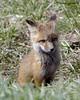 Fox Kit - Karns Meadow, Jackson, WY (Dave Stiles) Tags: fox redfox vulpesvulpes foxcub jacksonwy foxkit karnsmeadow