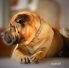 Mi Ran    --  explore (Maril Irimia) Tags: dog perro sharpei ran gos perrogrande perrochino