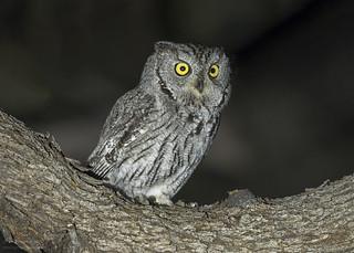 Whiskered Screech Owl (Explored 2-12-17)