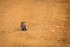 Lilac-breasted Roller (Ryan Kilpatrick) Tags: rollers birds madikwe typicalbird lilacbreastedroller gewonetroupant {coraciascaudatus}