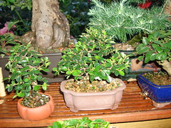 DSC02029 (jeremy_norbury) Tags: beds bonsai growing patch