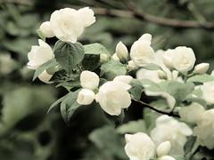 Boerenjasmijn (wemale) Tags: flower garden olympus om e500 43adapter omlenses rumariuw