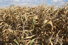 Maisanbau für Biofuel Nutzung. Bild: jowo/Flickr unter CC