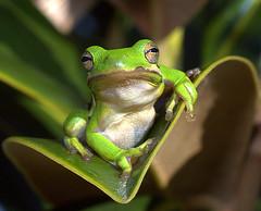 Here's lookin' at you (ScreaminScott) Tags: fab cute green bravo amphibian nikond70s frog attitude precious fv10 cavalier topv3333 soe treefrog topf200 thelook apg topf400 naturesfinest catchycolorsgreen blueribbonwinner topc200 splendiferous topvaa cotcmostfavorited instantfave outstandingshots flickrsbest 200viewswinner specanimal abigfave specanimalphotooftheday platinumphoto anawesomeshot colorphotoaward impressedbeauty superbmasterpiece flickrchallengewinner specanimalphotoofthemonth bratanesque macrophotosnolimits excellentphotographerawards overtheexcellence cotcbestof2007 closetoreality macromarvels onephotoweeklycontest ccpb1107 botopv1107 only70andfavoritesphoto lesteradine105mmf28macro bestofbratanesque topqualityimage theenchantedcarousel bestofflickrsbest