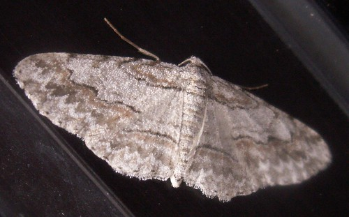 Small Purplish Gray Moth