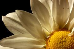 daisy (isableh.) Tags: macro nikon shadows daisy macrolens macrophotography d40