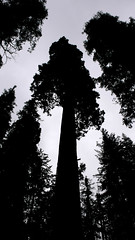 DAY01-sequoia01 (buzzygirl) Tags: silhouette tress giansequoia