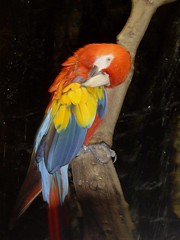 Loro (Carhove) Tags: color bird reed noche spain ave pico pajaro multicolor loro birdwatcher periquito naturesfinest thewonderfulworldofbirds