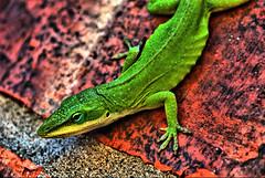 Red Brick Green Gecko (Jeff Clow) Tags: macro green texture nature closeup backyard bravo raw natural lizard anole gecko hdr greenanole naturesfinest magicdonkey anoliscarolinensis 1exp mywinners abigfave notagecko anawesomeshot infinestyle dynamicphotohdr jeffrclow