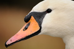 Swan's up (Trondelarius) Tags: macro bird eye nature bill swan nikon beak sigma aves apo bec 70300mm makro cygne rostrum schnabel cygnusolor zwaan schwne nebb d300 uglyduckling cygnus anatidae ye anseriformes gnero svane anserinae